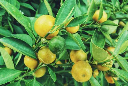 Le jus de citron pour maigrir